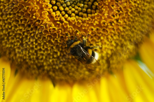 Bumblebee on a flower of a sunflower macro shot.