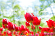 Amazing view of colorful  tulips in the garden. - 167772915