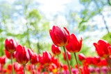 Amazing view of colorful  tulips in the garden.