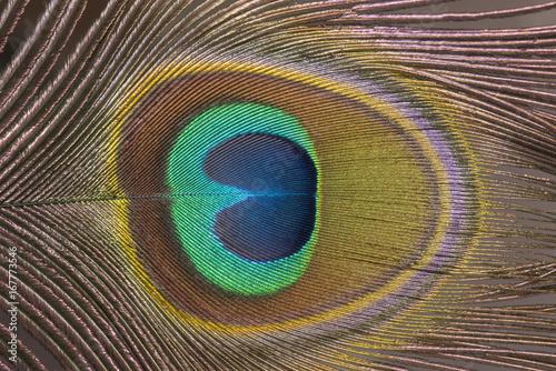 Foto op Aluminium Pauw Closeup peacock feather