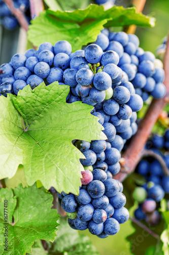 Weintrauben (reifen)