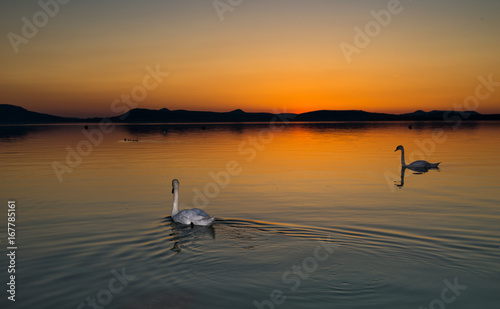 swans in sunset