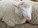 Sheep breed - Soviet - 167792531