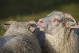 Sheeps - 167793501