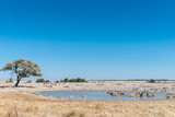 Burchells zebry wody pitnej w waterhole w północnej Namibii