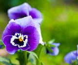 Violet macro - 167823951