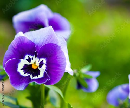 Fridge magnet Violet macro