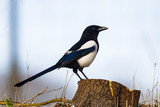 Magpie on stump - 167835913