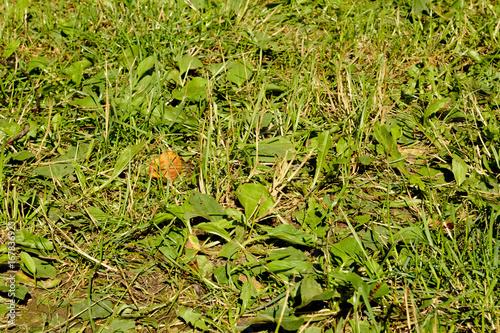 Foto op Plexiglas Landschappen Green grass, mix of different plants with plantain
