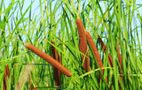 Cattails and Reeds - 167837762