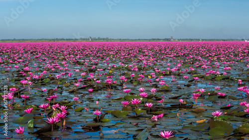 Obraz na Plexi Amazing and Scenery lake of pink waterlily in Thailand