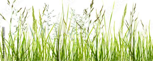 Deurstickers Gras gräser, grashalme, wiese vor weißem hintergrund