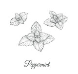 Peppermint Set. Collection of peppermint vector illustration. Peppermint skech - 167884596