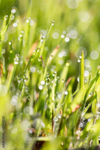 Green grass in the dew on the nature