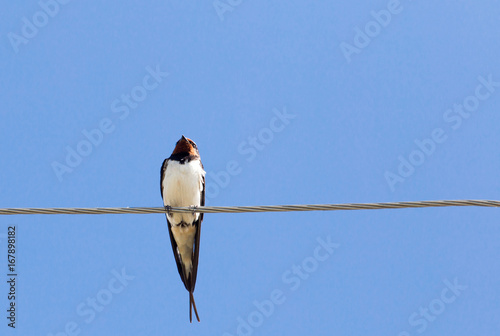 The swallow sits on an electric wire