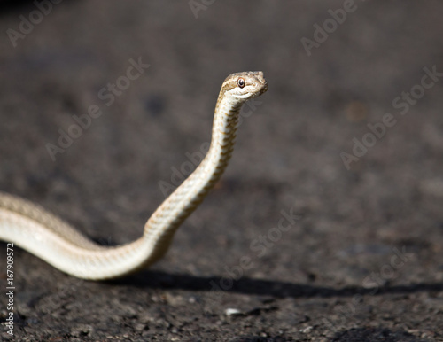 The snake crawls across the road in the city