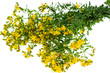 Big bunch of yellow St. John's wort medicinal on white backgroun