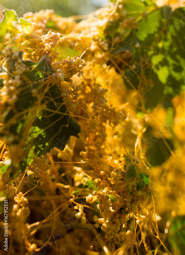 Yellow grass parasite on a plant in nature