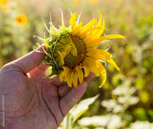 Sunflower flowers grow on nature