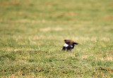 Starling in flight over a green field - 167915589