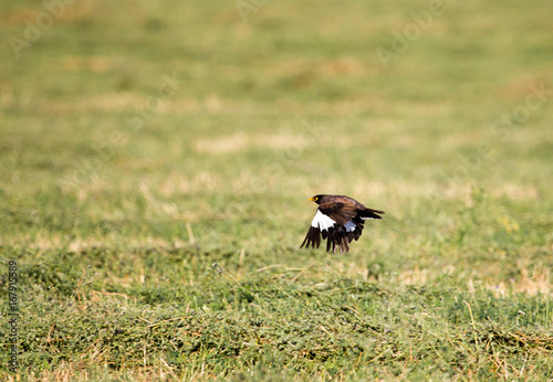 Starling in flight over a green field