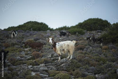 Mountain Goat on Greek Island. On Scrub Poster