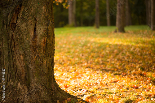 Maple Tree With Colorful Fall Leaves