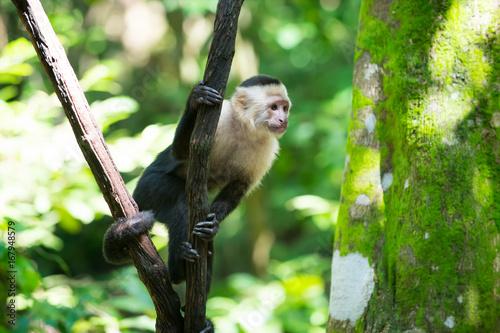 Aluminium Aap Monkey capuchin sitting on tree branch in rainforest of Honduras