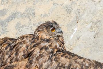 Eurasian eagle-owl, Bubo bubo, eagle