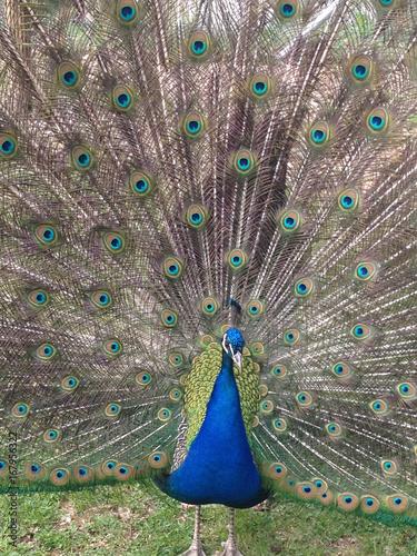 Fotobehang Pauw peacock