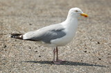 seagull on the ground close up photo