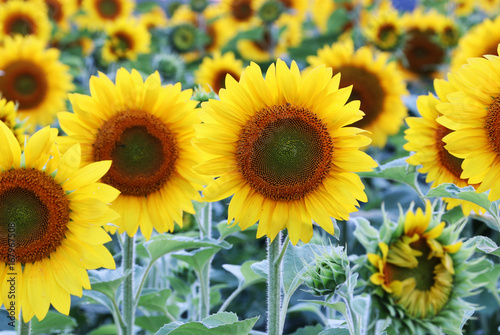 Plexiglas Geel Beautiful nature background with sunflowers. Sunflower field close up in shallow depth of field. Summer background. Agriculture and industry background.