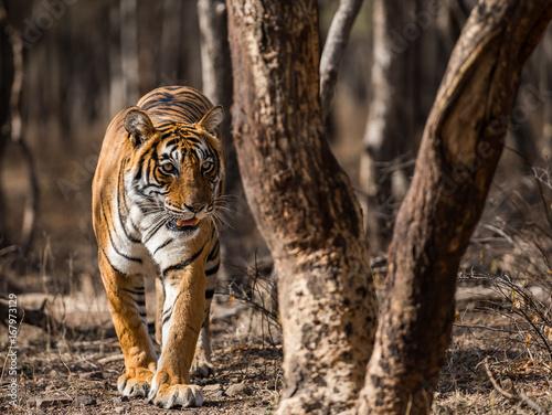 Tigress Noor w dramatycznym świetle