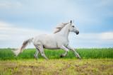 Beautiful gray horse running on the pasture - 167980598