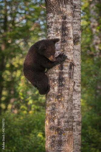 Black Bear (Ursus americanus) Cub Climbs Down Tree