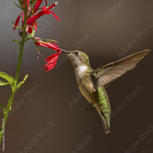 Niedojrzały rubinowate koliber żerujący na kardynał kwiat