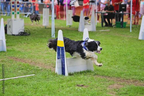 compétition de course canine avec obstacles