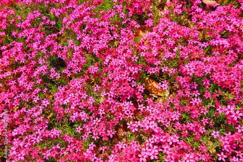 Aluminium Candy roze 春の花咲く公園の風景13