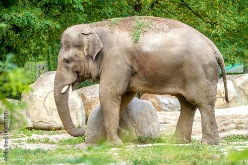 Plakat large elephant walks in the enclosure of the zoo