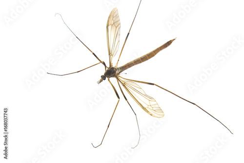 Fototapeta Mosquito isolated on white background