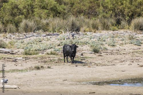 wild bulls praze and rest at a beach in the Rhone delta in the Camarque