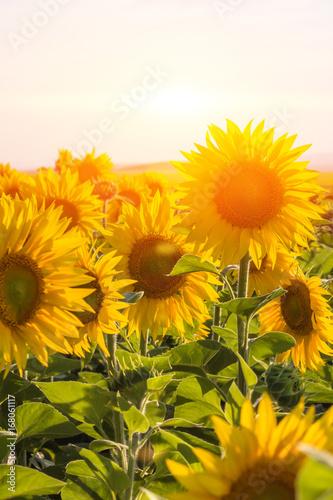 In de dag Bloemen Field of sunflowers in sunny weather