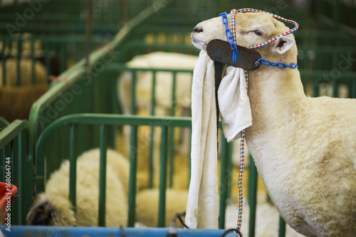 Fotobehang Kameel Sheep at the Indiana State Fair