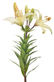 isolated light yellow lily flower with three buds