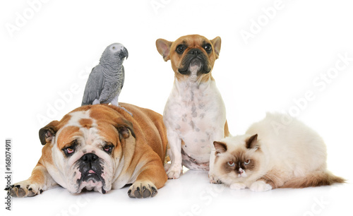 Fotobehang Franse bulldog group of pet