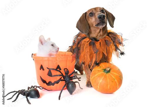 kitten and dachshund Poster