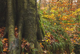 foot of a beech tree in an autumnal woodland - 168082324