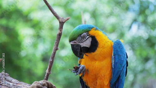 Blue and Gold Macaw eating food using its feet