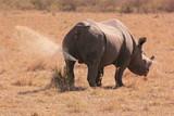 Rhino peeing