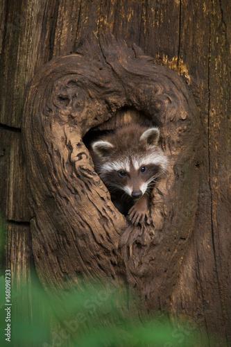 Junger Waschbär am Baumhöhleneingang